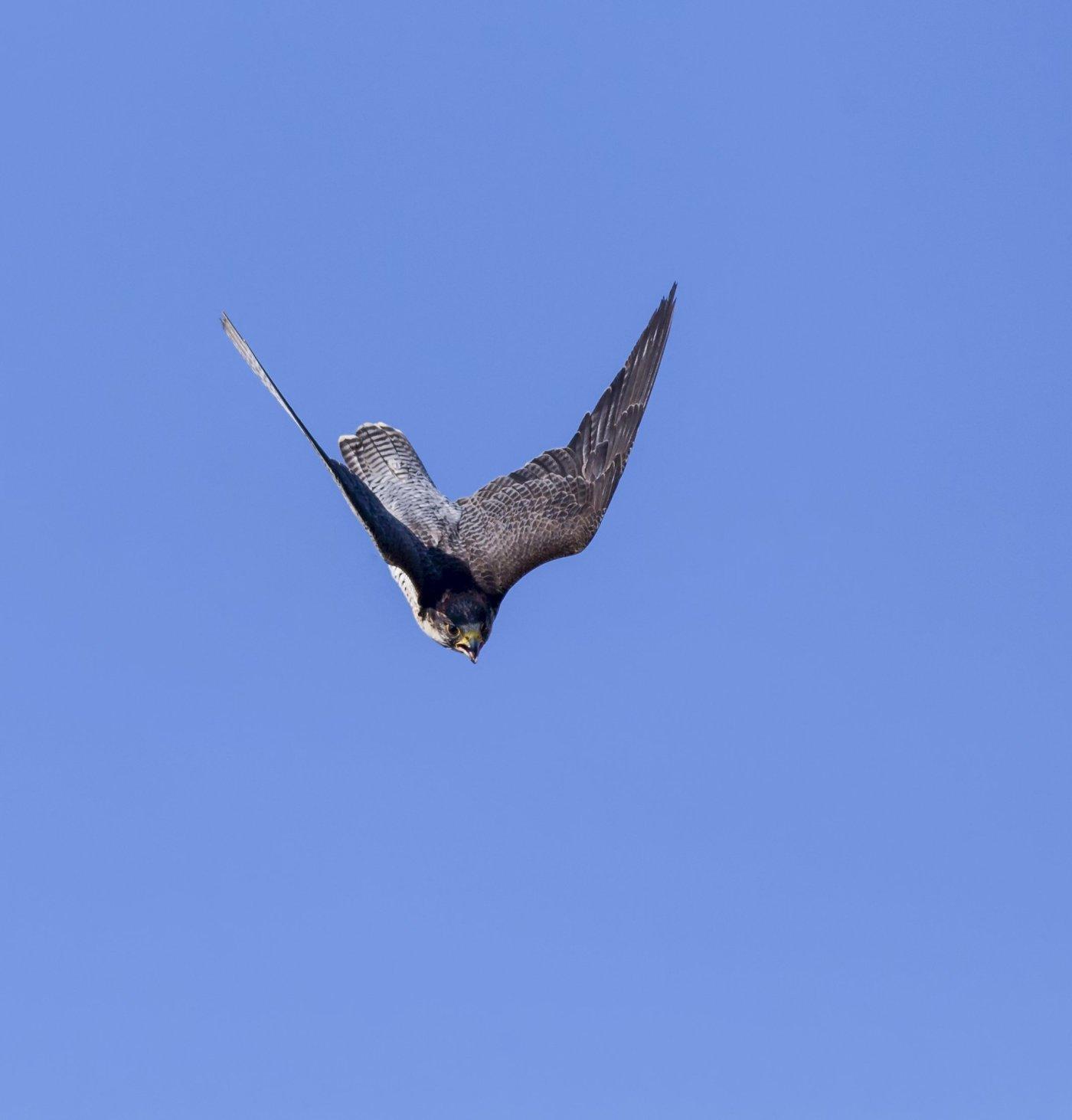 bird of prey diving
