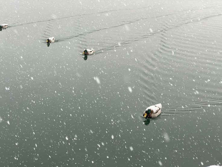 Ducks covered in snow
