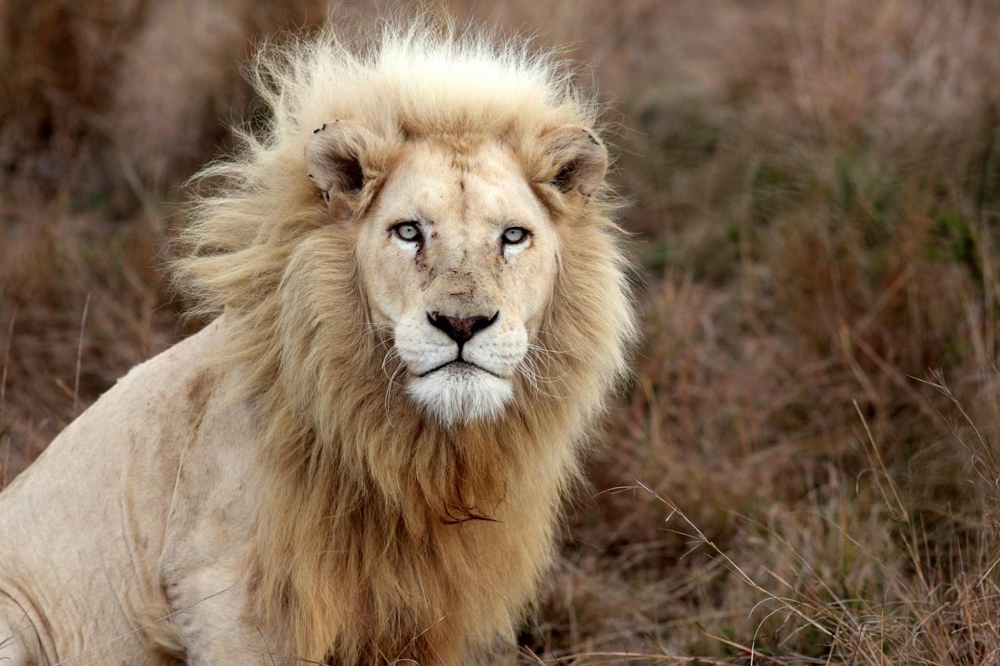 Seer-lion
