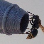 Как осы наносят ущерб австралийской авиации