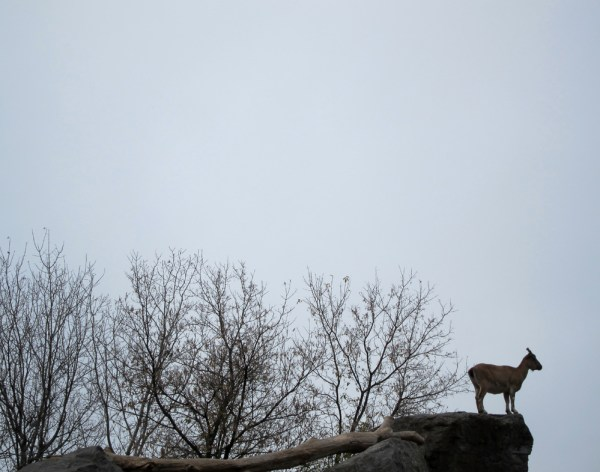 Markor on High. Rosamond Gifford Zoo, Syracuse, NY. November 2014