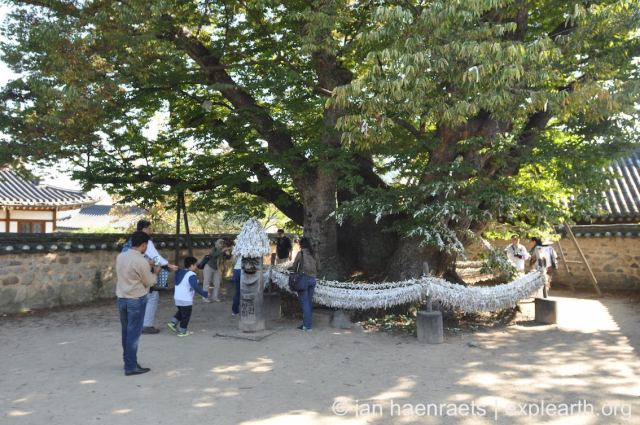 In countries such as Japan and Korea, veteran trees are revered and cared for in exemplary manners. This tree stands in the traditional village of Hahoe in South Korea. Proper pruning, protective zones around the tree, and expert tree surgery allow such trees to reach very old ages and become the soul and pride of communities (Photo: Jan Haenraets, 2013).