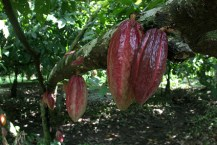 Cacao and Coffee Day Tours