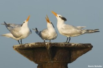 Royal Terns on our Birding Tours from Santo Domingo