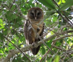 Ashy Faced Owl on our Birding Tours from Santo Domingo