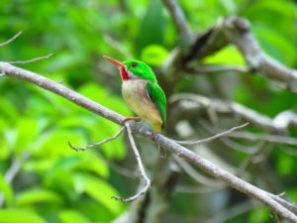 Broad Billed Tody on our Birding Tours from Punta Cana