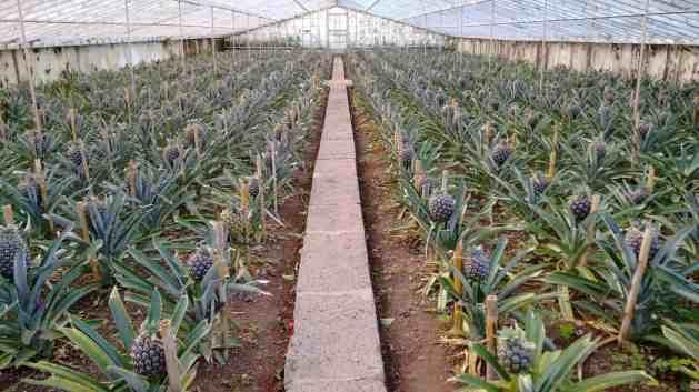 Plantação de ananases na ilha de S. Miguel, Açores