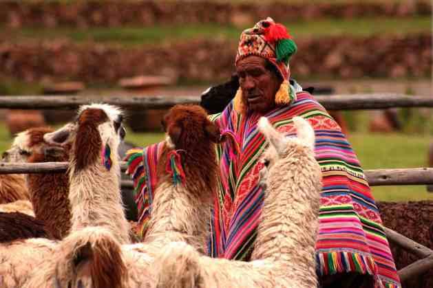 Alpacas no Peru