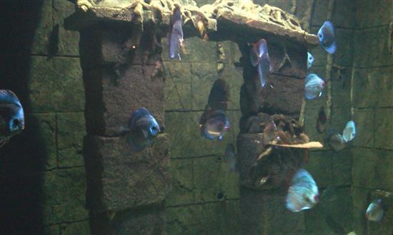 ikan-warna-biru