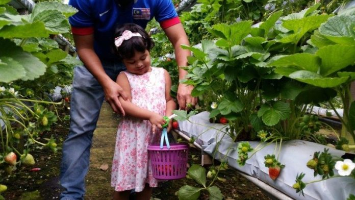 genting-strawberry-leisure-farm-1