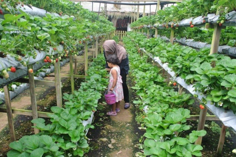 genting-strawberry-leisure-farm-3