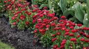 government-garden-flower-red