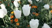 government-garden-white-tulip