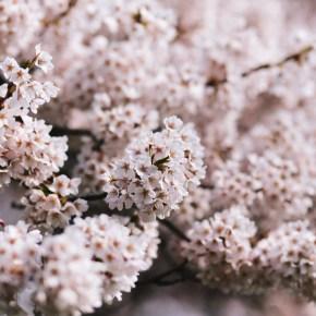 Virtual Cherry Blossom Tree Walk – Haiku Walk from Historic Joy Kogawa House, on NOW