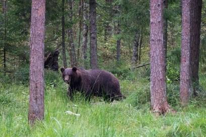 Bear watching Estonia
