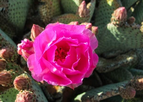 cactus.flower