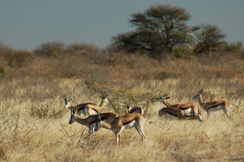 09-12_10-05-41 springbok herd2