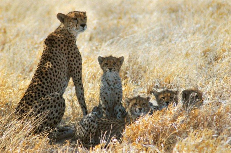 Botswana - ExplorationVacation - 09-13 cheetah