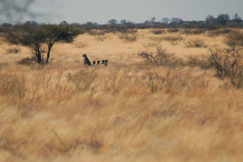 Botswana - ExplorationVacation - 09-13 distant cheetah family