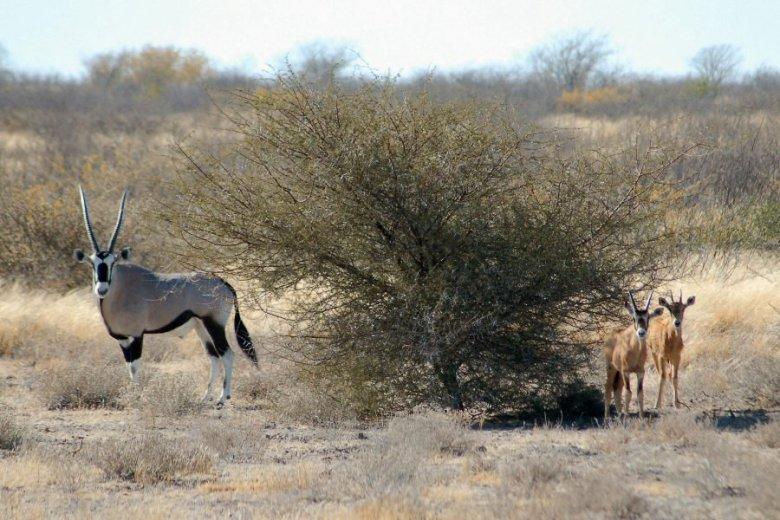 Botswana - ExplorationVacation - 09-13_01-53-39 gemsbok w calves