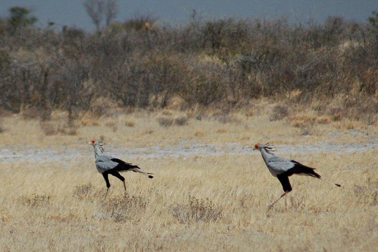 Botswana - ExplorationVacation - 09-13_05-20-54 secretary bird