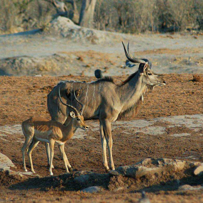 Botswana - ExplorationVacation -09-23_00-04-39 kudu and impala2