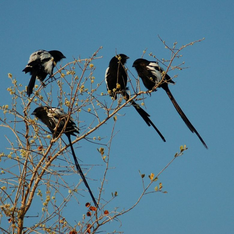 Botswana - ExplorationVacation -09-23_00-26-56 long-tailed shrikes