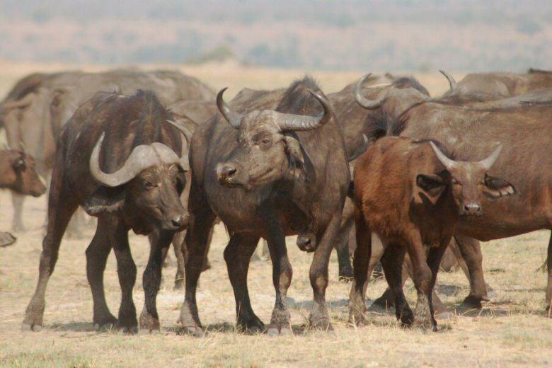 Botswana - ExplorationVacation 09-24_08-17-50 buffalo male female young