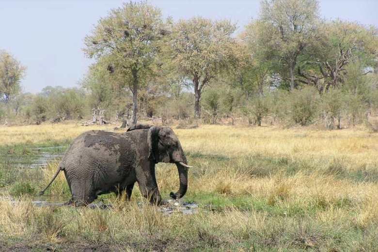 Botswana - ExplorationVacation - P1010122 elephant