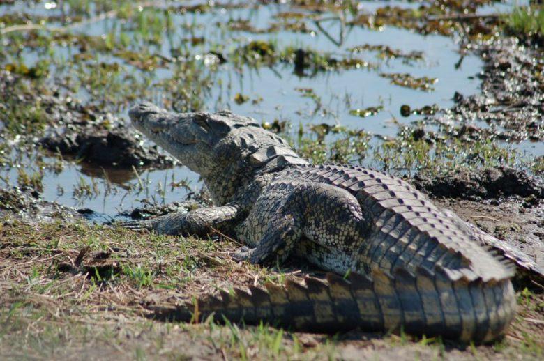 Botswana Moremi - ExplorationVacation - 09-21_02-35-32 nile croc