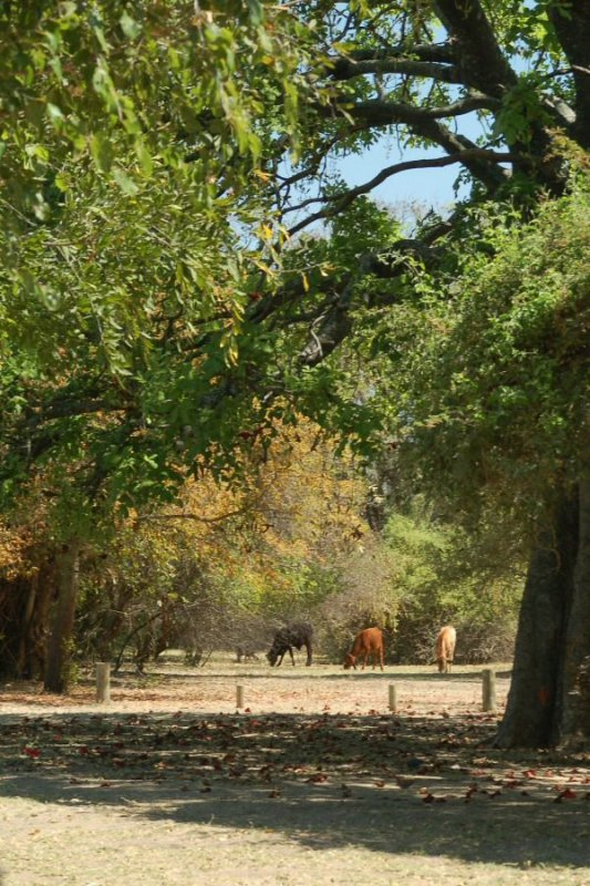 Botswana Okavango - ExplorationVacation - 09-17 cows at polers trust