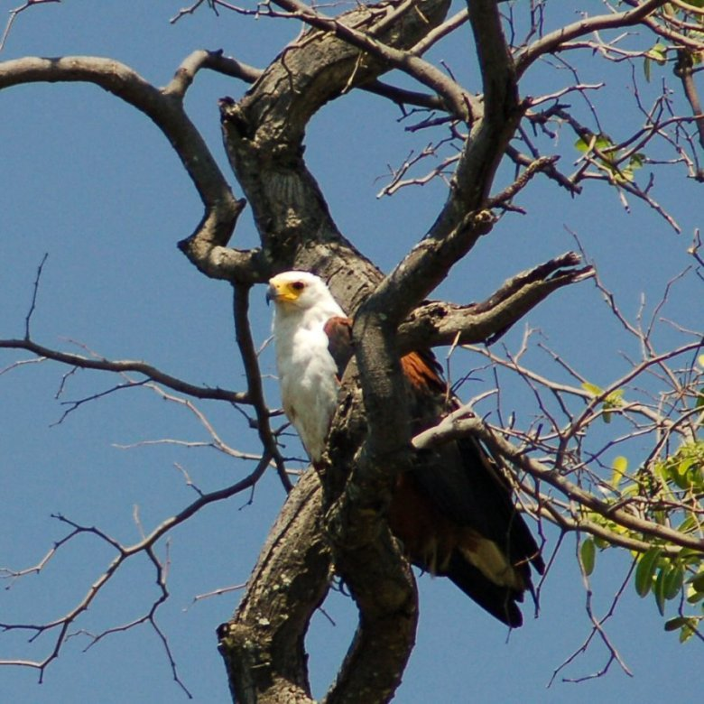 Botswana Okavango - ExplorationVacation - 09-17_04-29-24 fish eagle