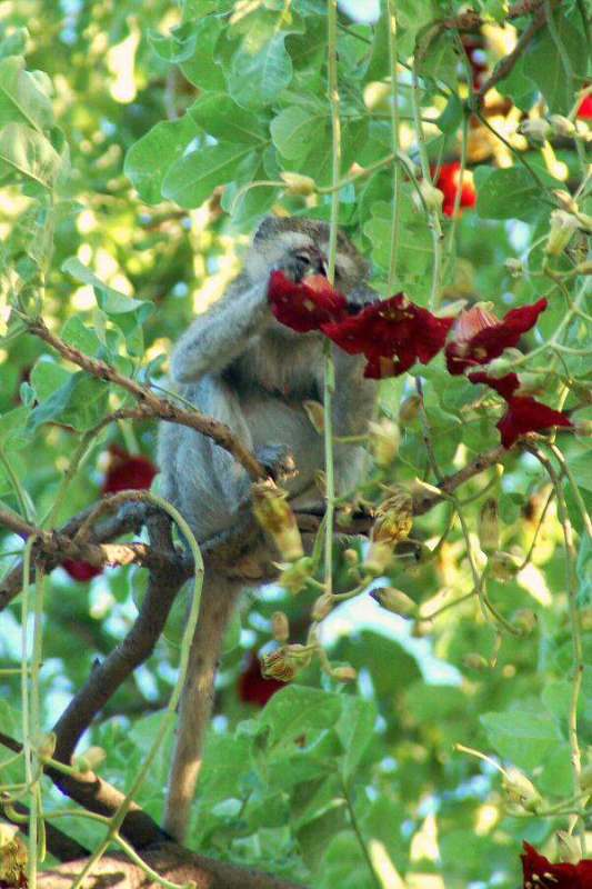 Botswana Okavango - ExplorationVacation - 09-18_monkey in sausage tree