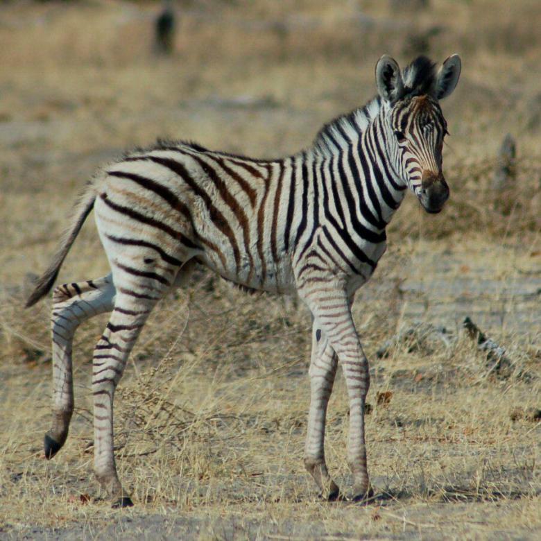 Moremi Botswana - ExplorationVacation - 09-21_02-30-07 zebra baby