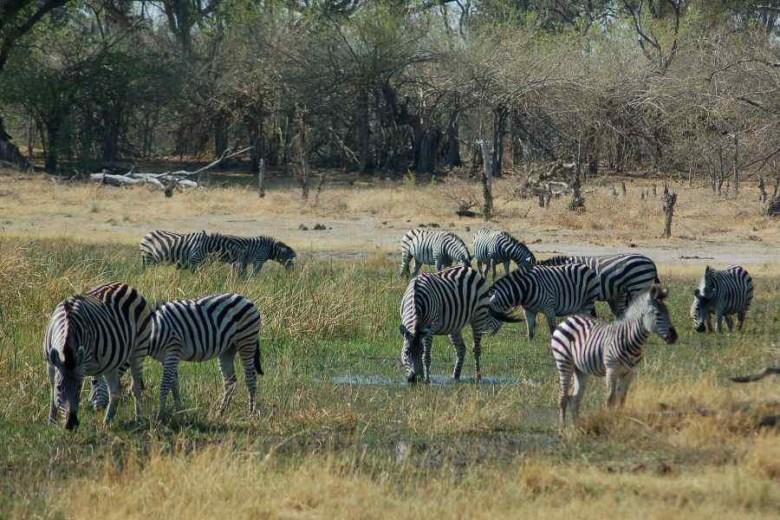 Moremi Botswana - ExplorationVacation - 2005-09-21_02-27-21 zebra herd