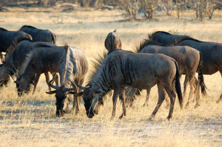 Moremi Botswana - ExplorationVacation - 2005-09-21_10-17-53 wildebeest
