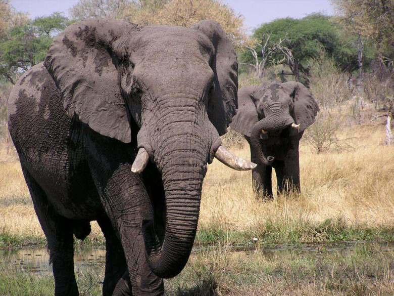 Moremi Botswana - ExplorationVacation - P1010118 two elephants