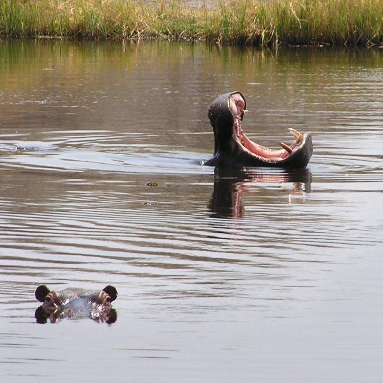 Moremi Botswana - ExplorationVacation - P9210076 hippos