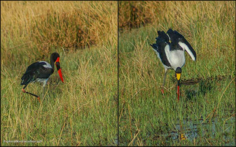 Sadle bill cranes Moremi Botswana - ExplorationVacation