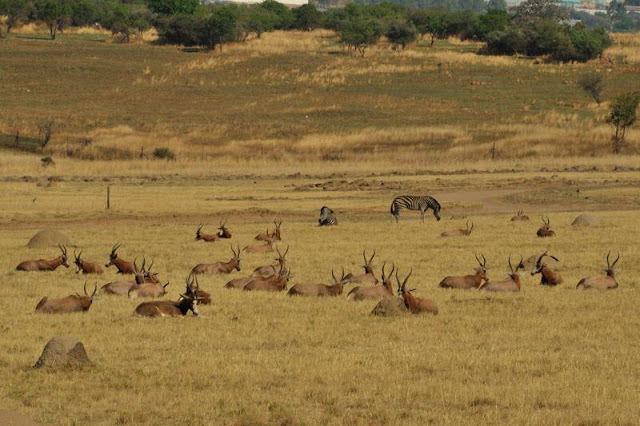 Animals grazing in the Lion Park in Johannesburg, South Africa - ExplorationVacation.net