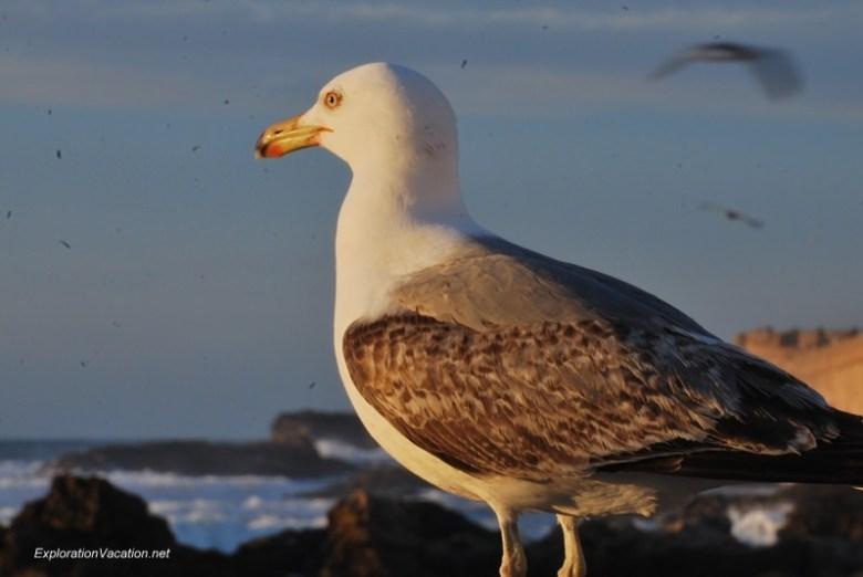 Essaouira seagulls 6 DSC_2345