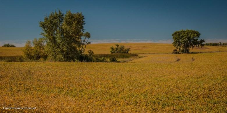 soybean field in central Minnesota - ExplorationVacation.net