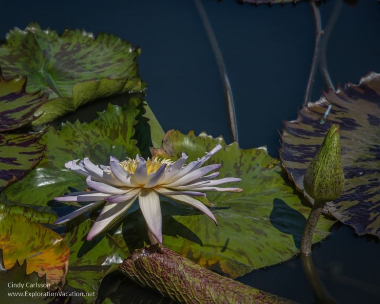 Lily pond New York Botanical Garden