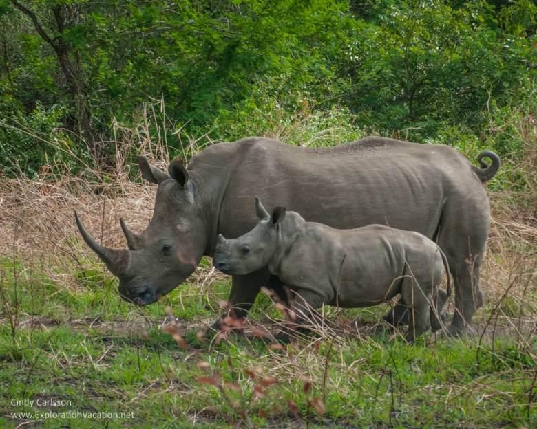 mothr and baby rhino in Hluhluwe Imfolozi Game Reserve