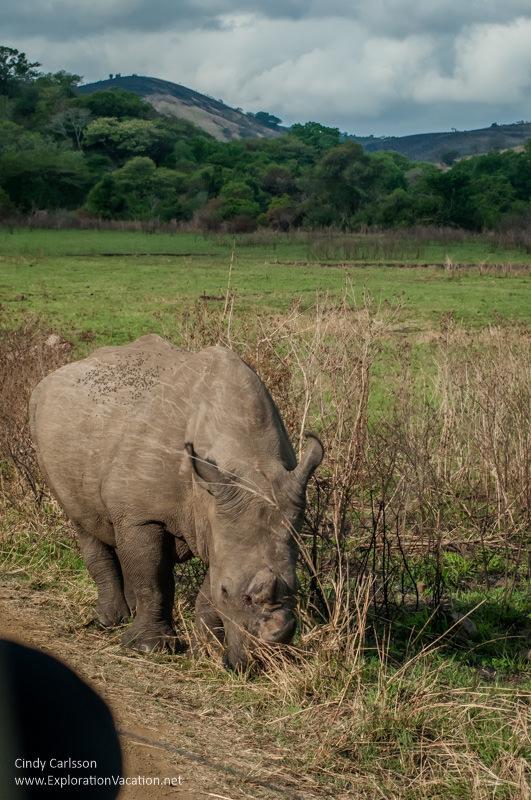 rhino in Hluhluwe Imfolozi Game Reserve