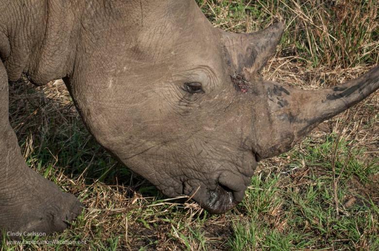 rhino in Hluhluwe Imfolozi