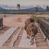 cattle crossing a plank bridge