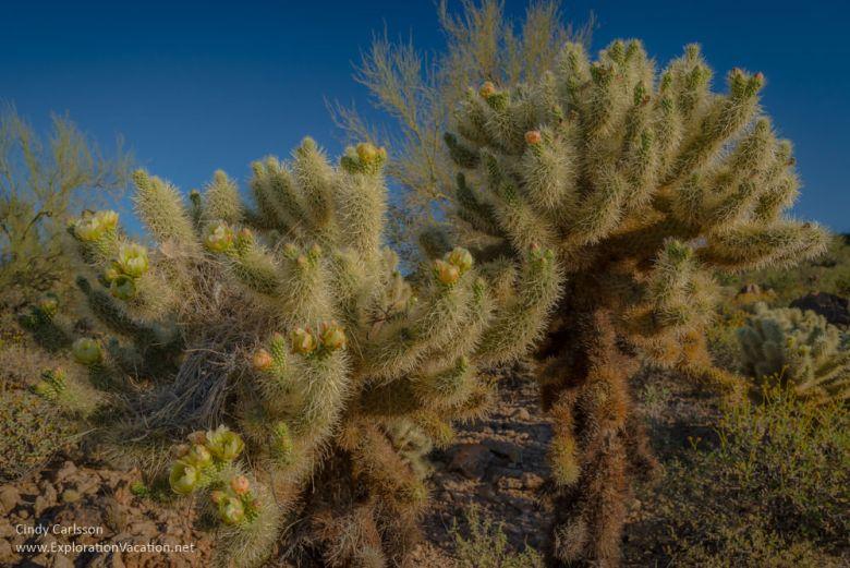 Teddy bear cholla blossoms in Arizona - ExplorationVacation.net