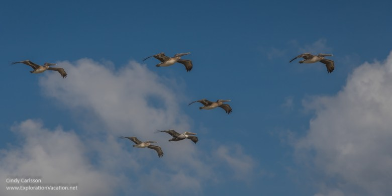 pelicans Playa Limpia Tulum Mexico - ExplorationVacation.net