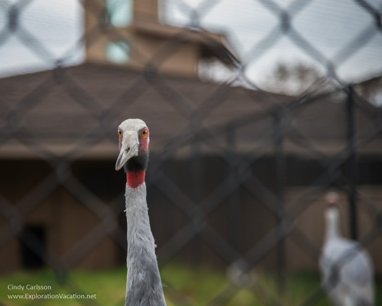 International Crane Foundation Sarus crane - www.ExplorationVacation.net